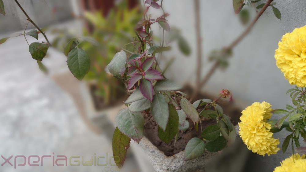 h7Xperia Z1S Background Defocus camera app - Photo Sample of rose leaves